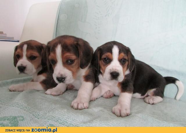 beagle szczeniaki trikolor