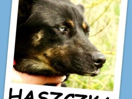 Błękitnooka suczka w typie husky  przyjacielska HASZCZKAAdopcja    mazowieckie Warszawa