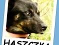 Błękitnooka suczka w typie husky ,przyjacielska HASZCZKA.Adopcja. ,  mazowieckie Warszawa