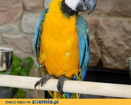 papugi Ara do zaoferowania
