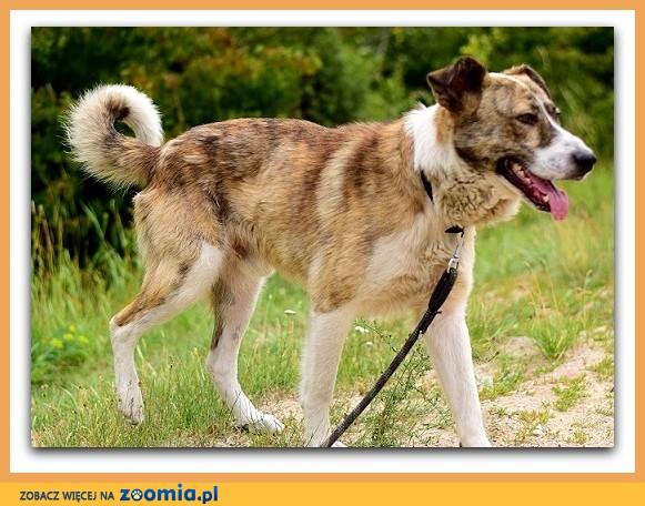 Duży,zaszczepiony,przyjazny,towarzyski,kontaktowy pies RON_Adopcja