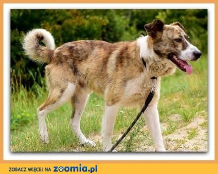 Duży zaszczepiony przyjazny towarzyski kontaktowy pies RON_Adopcja