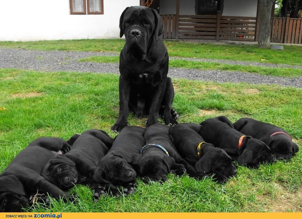 Dodatkowe Pies Cane Corso - ogłoszenia z hodowli. Psy Cane Corso / Zoomia.pl RU99