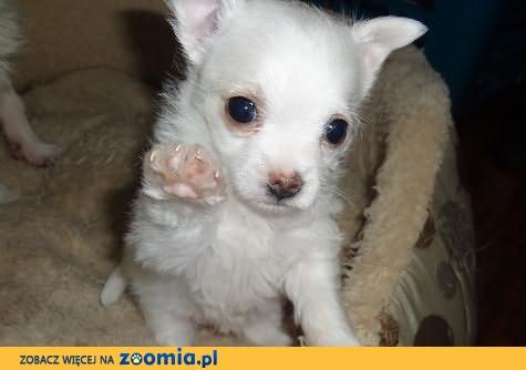 Piesio Chihuahua do max 3 kg w dorosłości