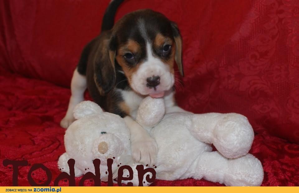 Beagle szczeniaczki