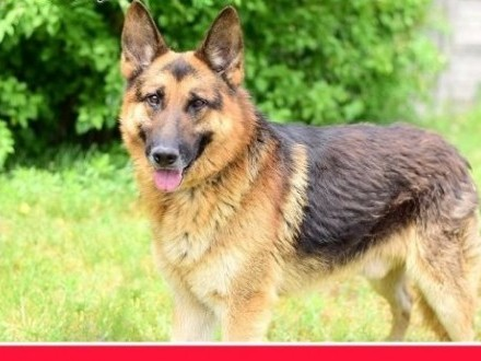 Owczarek dla doświadczonych pies AZTEK z domu tymczasowego   dolnośląskie Wrocław