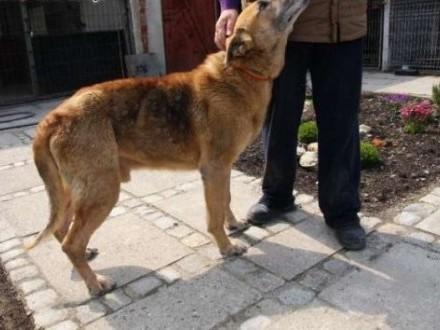 Diego - starszy  megałagodny pies - czy ktoś się nad nim zlituje?   śląskie Katowice