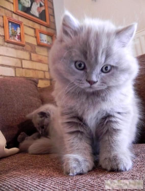 Kocieta Brytyjskie Kocurek Brytyjski Długowłosy Brytyjski Koty