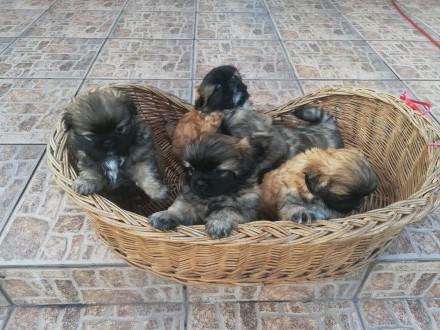 Pekińczyki szczeniaki