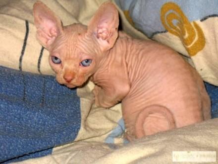 Kot Sfinks Ogłoszenia Z Hodowli Koty Sfinks Zoomiapl Pl 9
