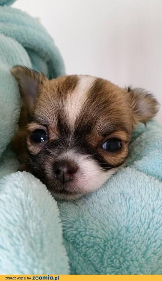 Chihuahua po rodowodowych,wystawowych rodzicach FCI