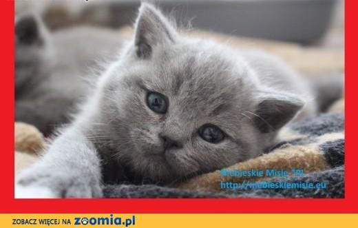 Śliczne koty | kocięta | brytyjskie niebieskie. Prawdziwy rodowód FPL(FIFe),  Koty brytyjskie cała Polska