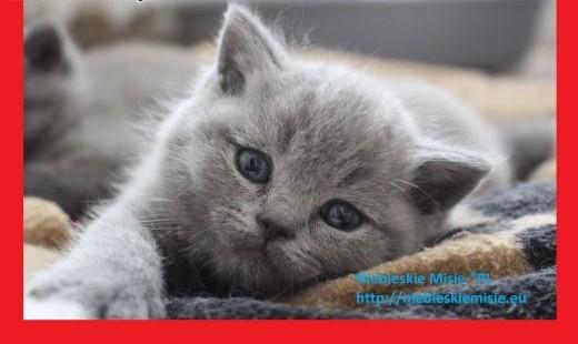 Śliczne koty | kocięta | brytyjskie niebieskie Prawdziwy rodowód FPL(FIFe)   Koty brytyjskie cała Polska