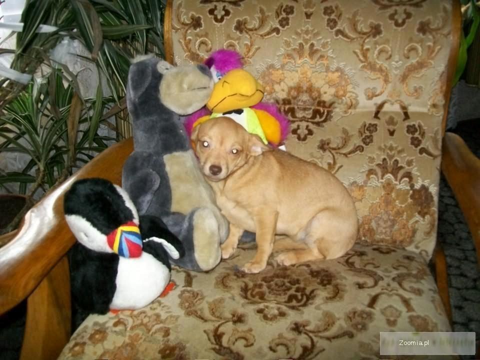 Chihuahua dlugo i krotkowlose malenkie pieski i suczki rodowodowe