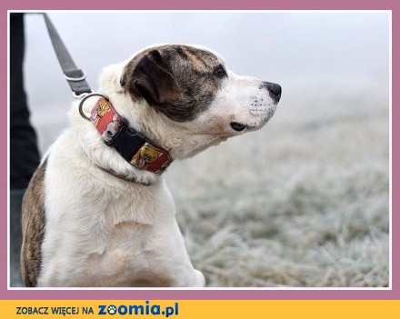 Kontaktowy  mądry pies ALBIN dla doświadczonych_Adopcja
