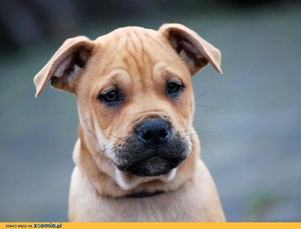 Dog Z Majorki Ca De Bou Pies Z Majorki 171 Oddam Psa