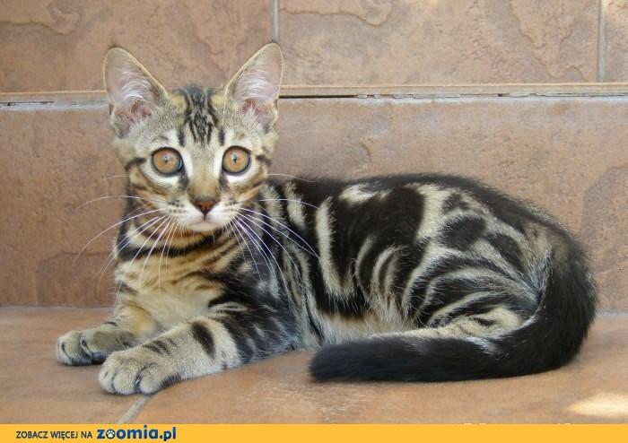 Kot Bengalski Kocięta Bengalskie Bengalski Koty Archiwum