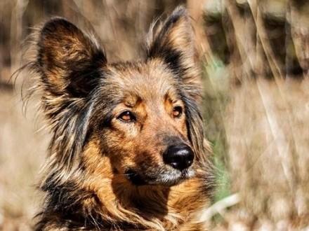 Frytka - najpiękniejsza mieszanka owczarka :)
