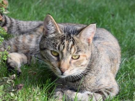 Pelasia  roczna zjawiskowa koteczka szuka domu!