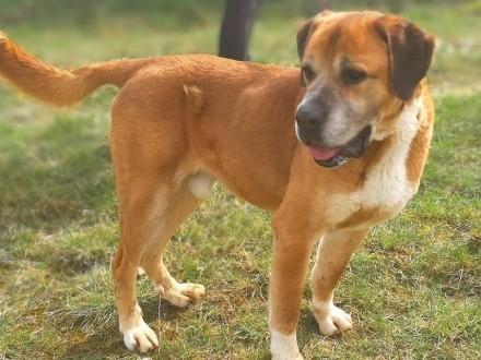 LUKAS - piękny pies w typie molosa bardzo pilnie szuka domu