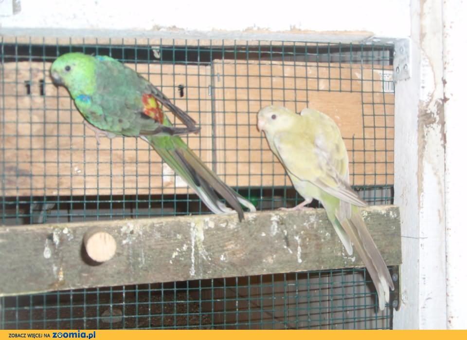 Papugi Świergotka Seledynowa Dorosła Para 2012