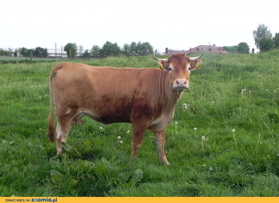 Sprzedam krowę cielną limuse