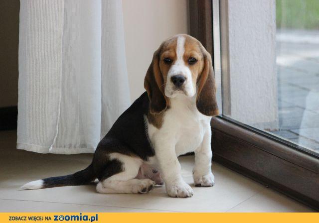 Beagle tricolor ZKwP po Championach