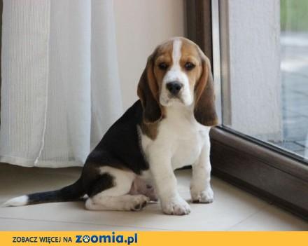 Beagle tricolor ZKwP po Chionach