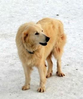 MOLLY - starsza sunia w typie golden retrievera szuka odpowiedzialnej opiekunki