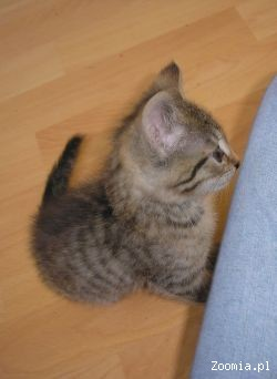 Mały Kotek Czeka Na Dom Dachowiec Oddam Kota Adopcje