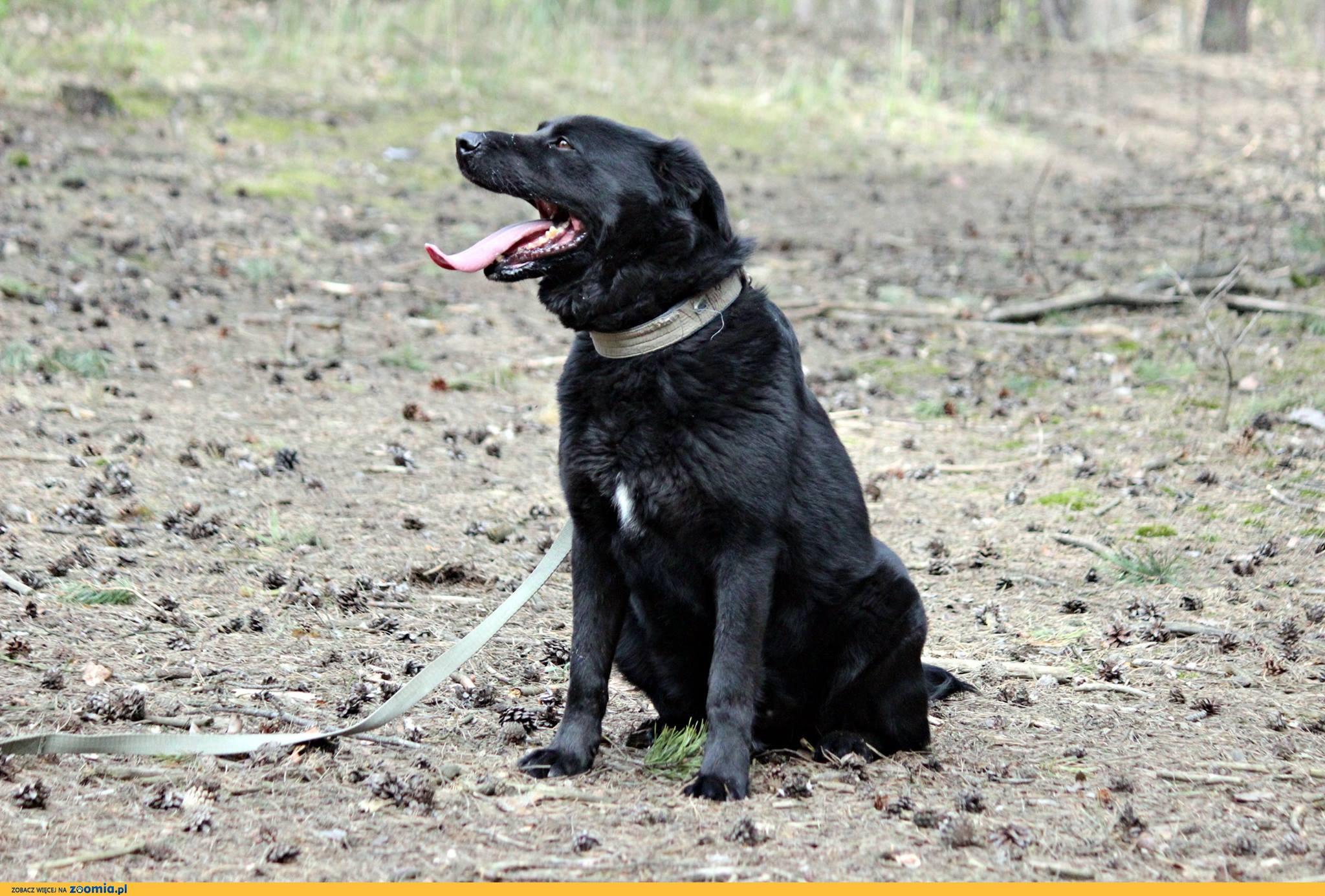 Bleki, LABRADOR mix, kto pokocha wiernego psa?