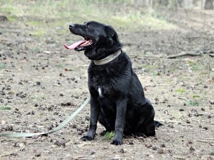 Bleki  LABRADOR mix  kto pokocha wiernego psa?