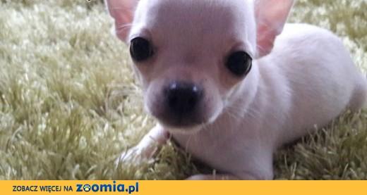 Chihuahua- mini szczeniaczek,  śląskie Częstochowa