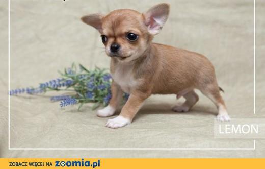 Chihuahua o imieniu Lemon,  rodowód ZKwP/FCI, wyjątkowej budowy szczeniak,  Chihuahua cała Polska