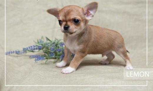 Chihuahua o imieniu Lemon   rodowód ZKwP/FCI  wyjątkowej budowy szczeniak   Chihuahua cała Polska