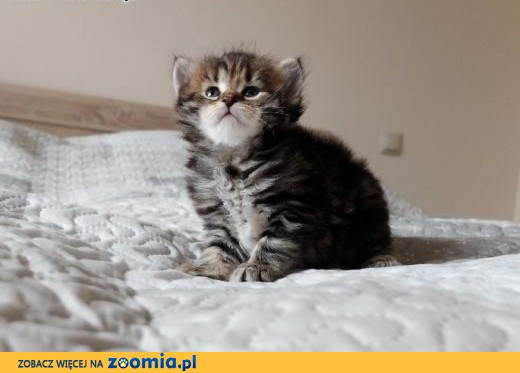 Śliczne Kocięta Syberyjskie,  kujawsko-pomorskie Inowrocław