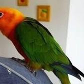 Papugi konura ognistobrzucha z DNA samce i samice   Dąbrowa Górnicza Centrum