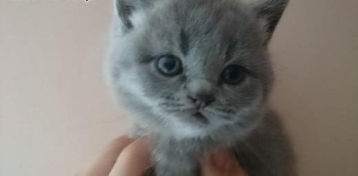 Piękne kociaki brytyjskie niebieskie krótkowłose   dolnośląskie Legnica
