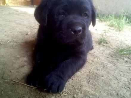 Młodzieńczy Pies Labrador Retriever - ogłoszenia z hodowli. Psy Labradory OU72