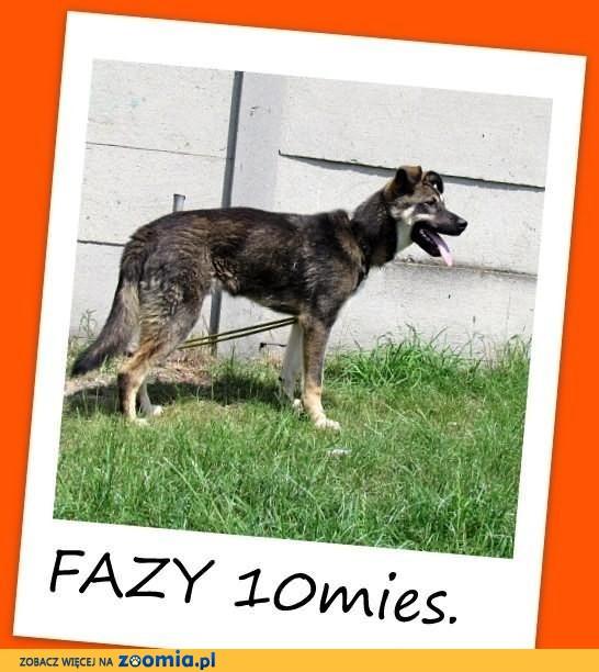 FAZY-młody 10mies.wilczasty,łagodny,duży pies.ADOPCJA