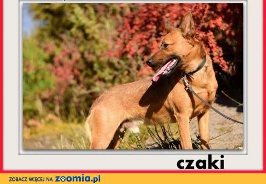 10kg,średni,łagodny,mądry,delikatny,szczepiony piesek CZAKI.ADOPCJA,  łódzkie Łódź