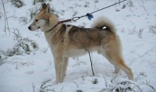 Freki - młody psiak w typie siberian husky do adopcji   kujawsko-pomorskie Toruń