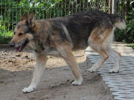 Szogun - piękny wilczur szuka domu