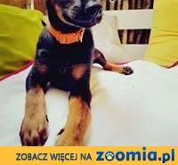 Joga - 4 miesięczna psia królewna szuka swojego domku!,  mazowieckie Warszawa