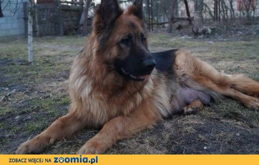 Owczarki niemieckie, piekne 6 tygodniowe szczeniaki!,  mazowieckie Radom