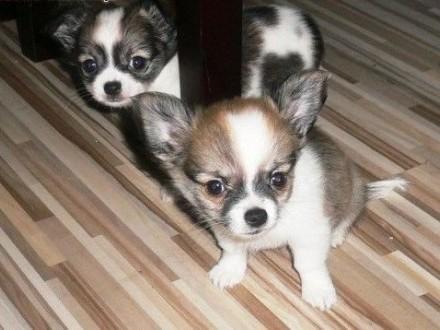 Mini Chihuahua (kobieta) (męski) gotowy   zachodniopomorskie Darłowo