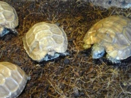 Żółw zawiasowy, Kinixys nogueyi