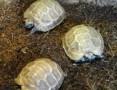 'Żółw zawiasowy, Kinixys nogueyi