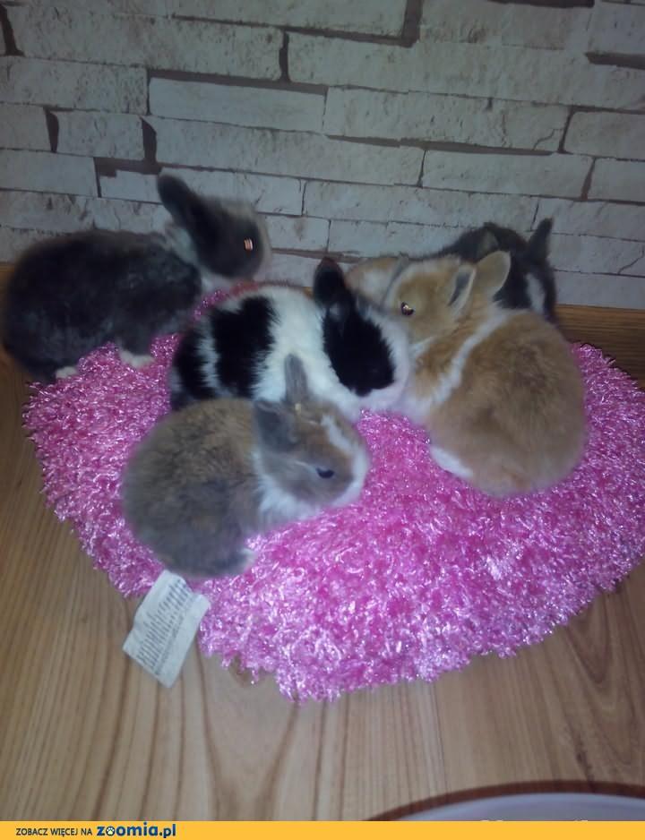 króliki króliczki karzełki teddy, miniaturki