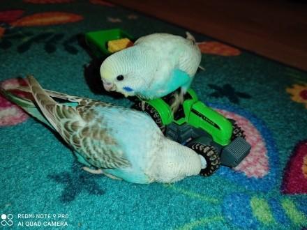 Papużki faliste ręcznie karmione